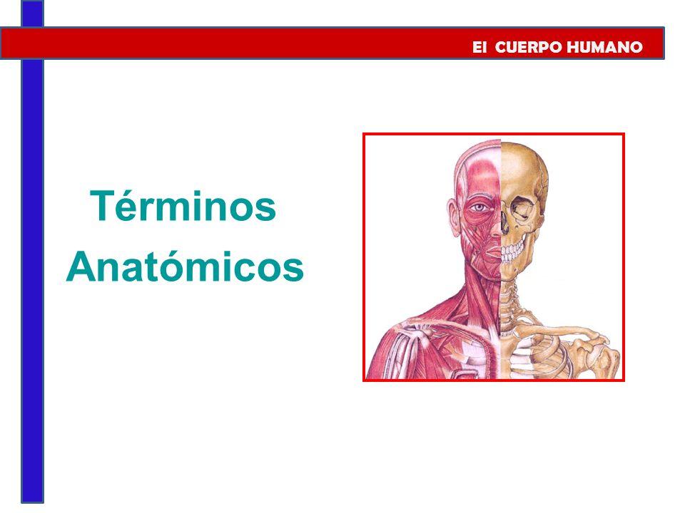 El CUERPO HUMANO Términos Anatómicos