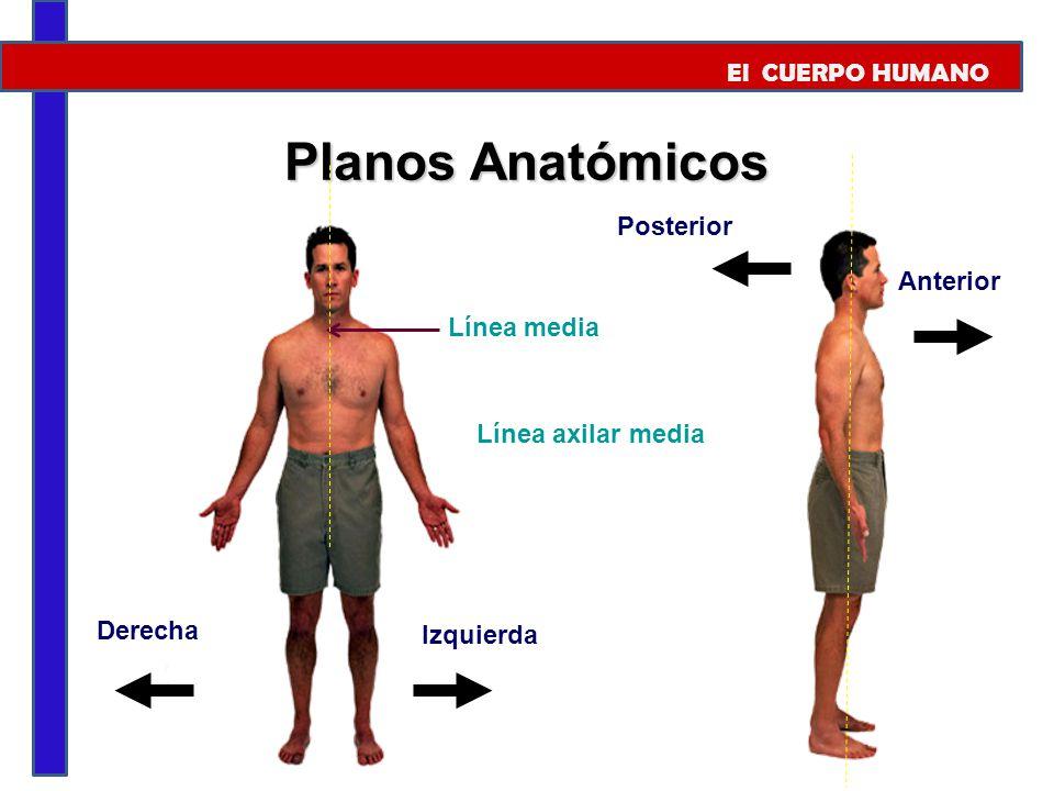 Planos Anatómicos El CUERPO HUMANO Posterior Anterior Línea media