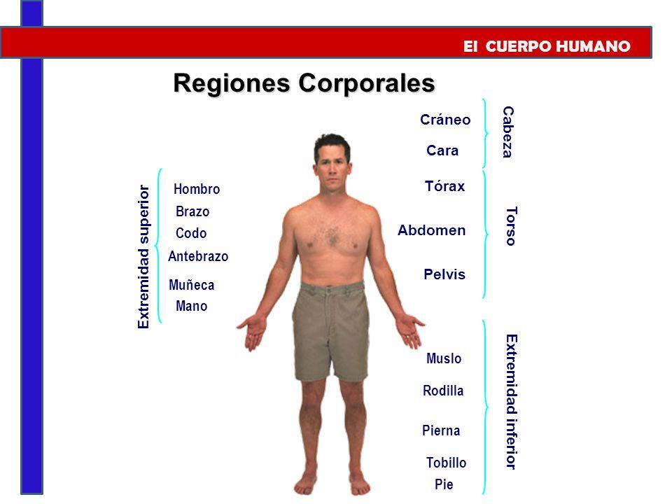 Regiones Corporales El CUERPO HUMANO Cráneo Cabeza Cara Tórax Hombro