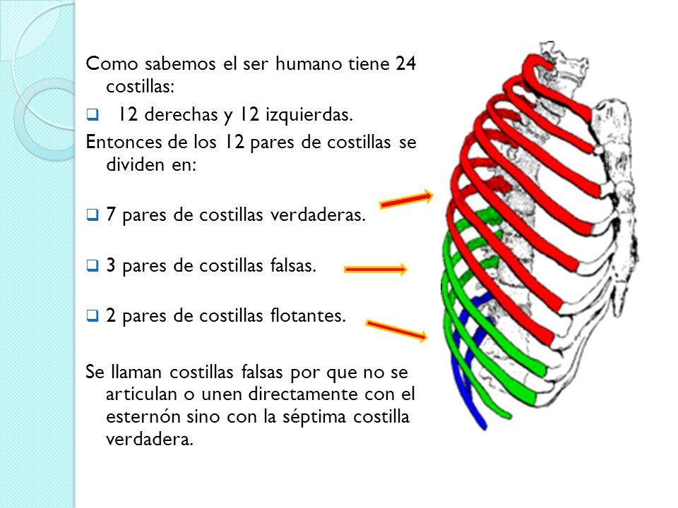 Vistoso Imagen De Las Costillas Humanos Elaboración - Anatomía de ...