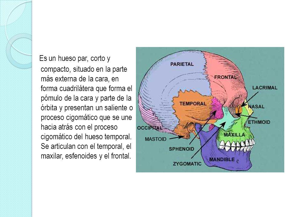 Vistoso Proceso Cigomático Galería - Anatomía de Las Imágenesdel ...