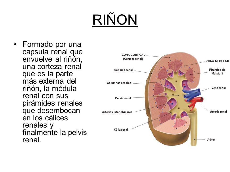 Asombroso Médula Del Riñón Bosquejo - Imágenes de Anatomía Humana ...