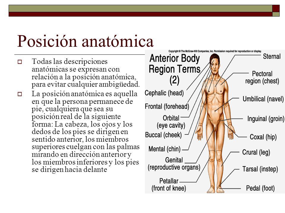 Posición anatómica Todas las descripciones anatómicas se expresan con relación a la posición anatómica, para evitar cualquier ambigüedad.