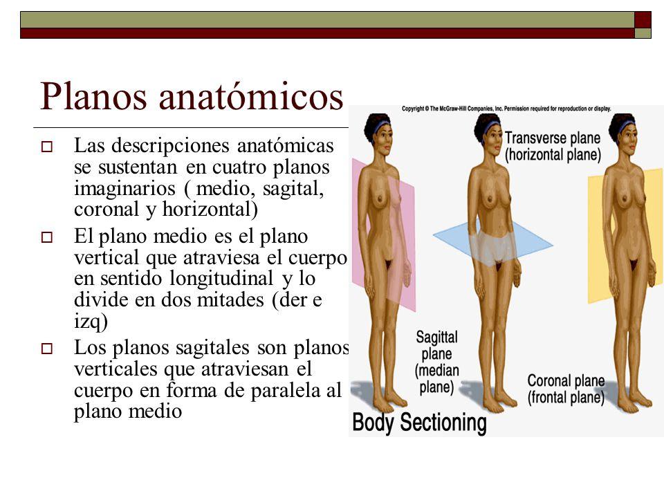 Planos anatómicos Las descripciones anatómicas se sustentan en cuatro planos imaginarios ( medio, sagital, coronal y horizontal)