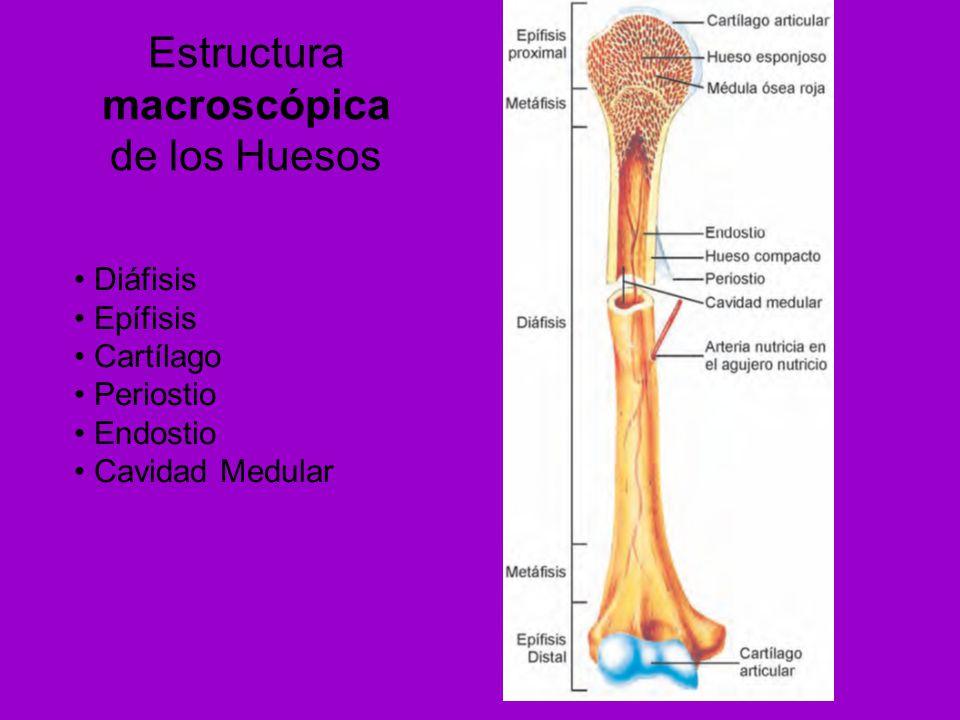 Asombroso Anatomía Microscópica De Hueso Compacto Inspiración ...