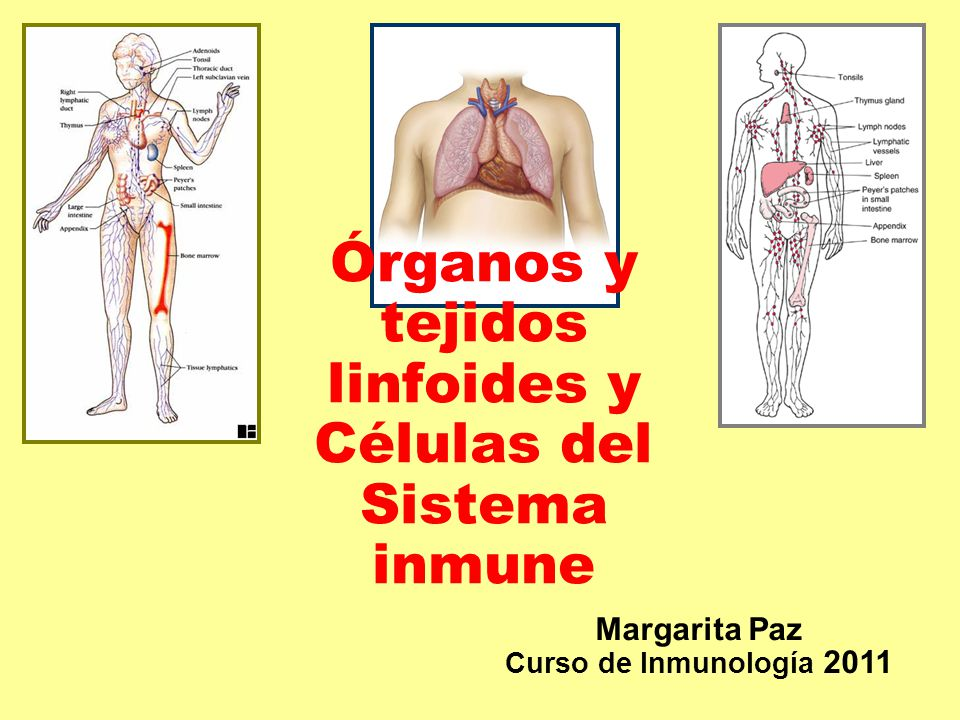 Órganos y tejidos linfoides y Células del Sistema inmune - ppt video ...