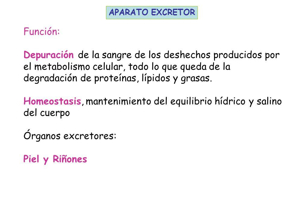 Homeostasis mantenimiento del equilibrio h drico y salino for En k parte del cuerpo estan los rinones