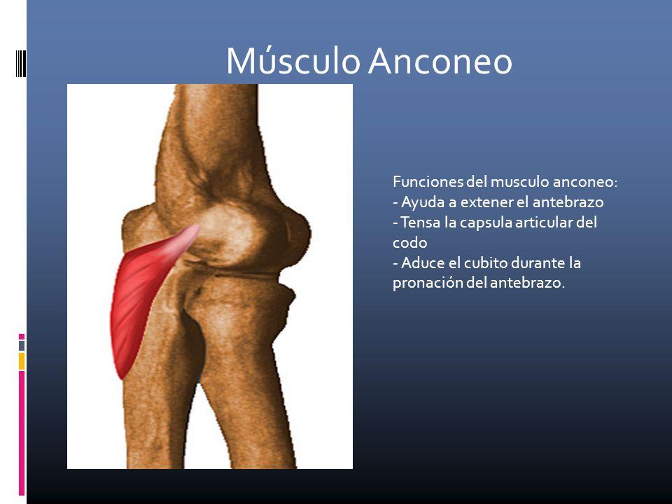 Increíble Anconeo Foto - Imágenes de Anatomía Humana - inworldztech.com