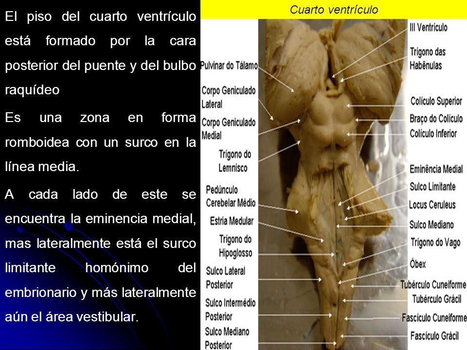 Lujo Anatomía Del Tercer Ventrículo Inspiración - Anatomía y ...