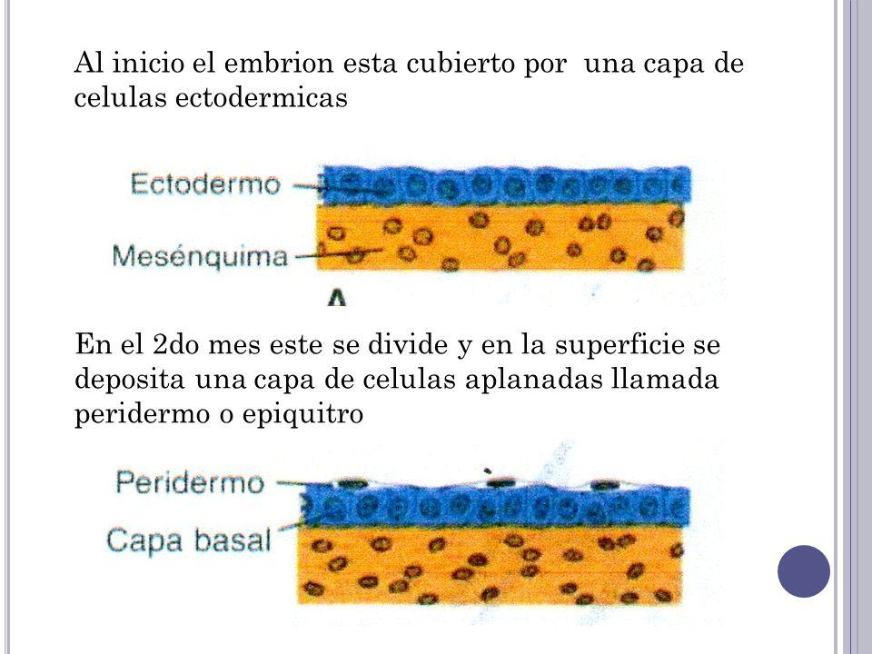 Al inicio el embrion esta cubierto por una capa de celulas ectodermicas