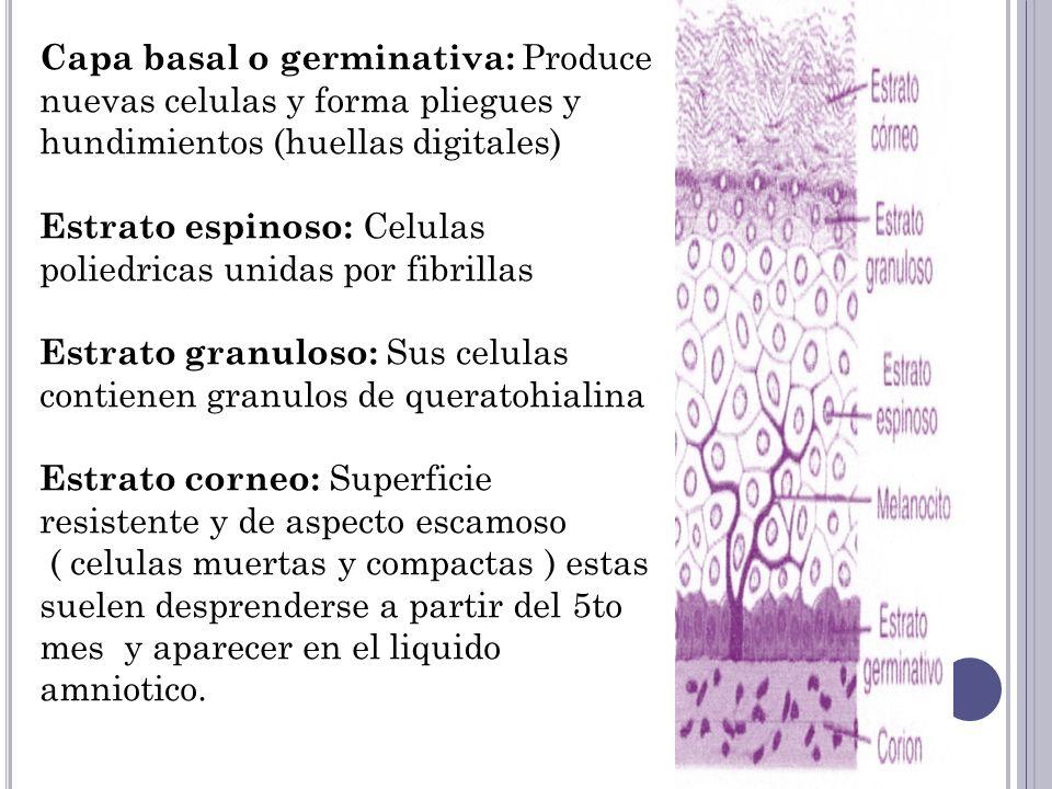 Capa basal o germinativa: Produce nuevas celulas y forma pliegues y hundimientos (huellas digitales)
