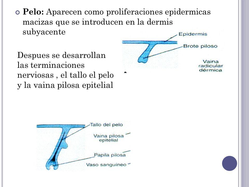 Pelo: Aparecen como proliferaciones epidermicas macizas que se introducen en la dermis subyacente