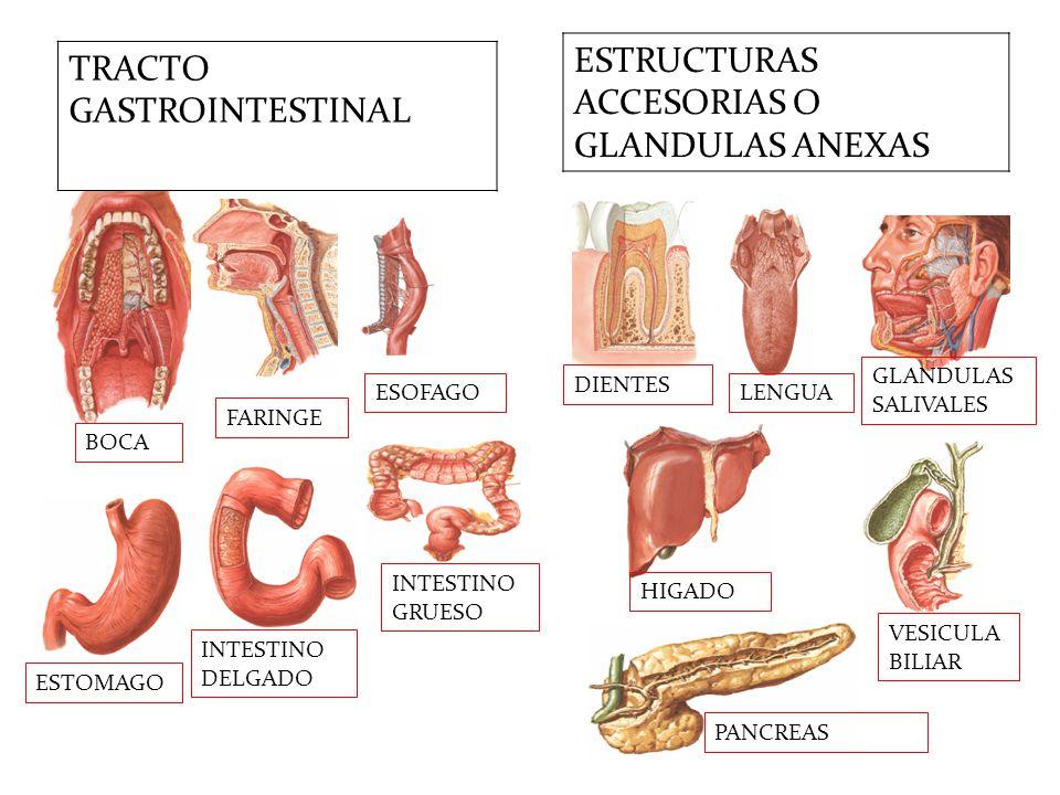 Encantador Imagen Del Tracto Intestinal Imagen - Anatomía de Las ...