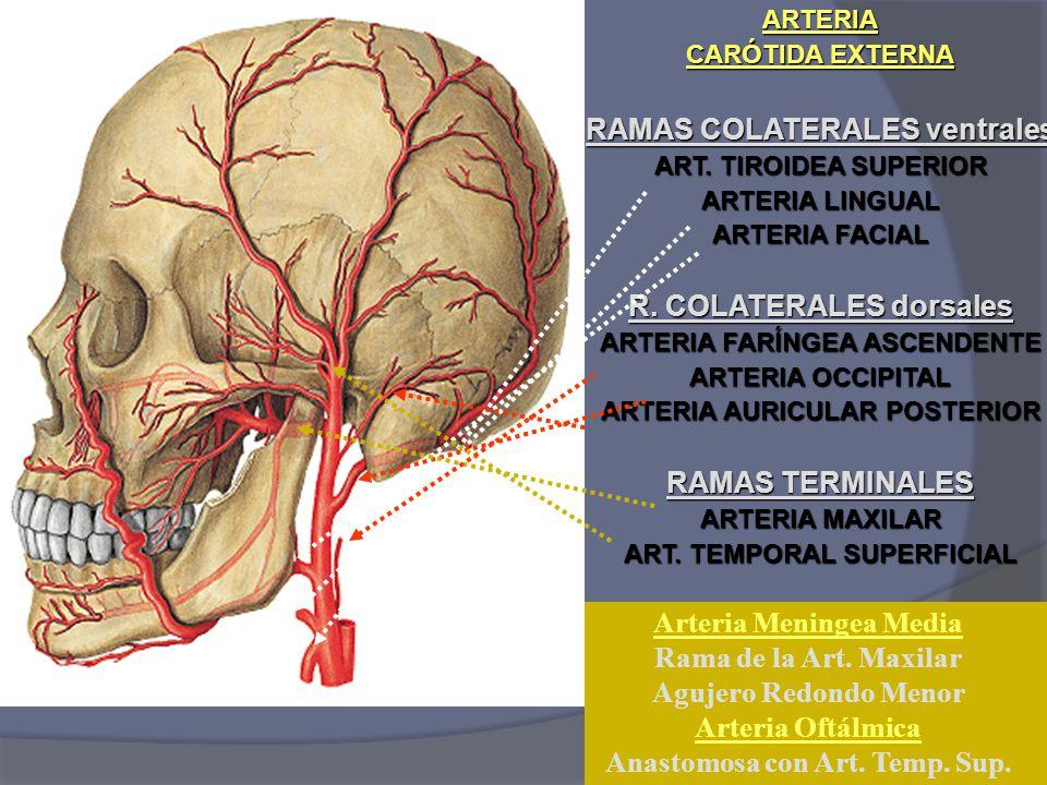 Atractivo Anatomía Arterias Extracraneales Modelo - Anatomía de Las ...