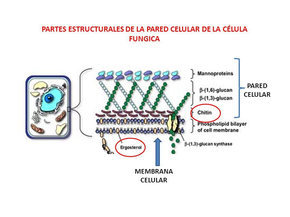 Generalidades de los hongos ppt descargar for Pared y membrana celular