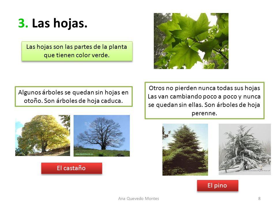 Ud 3 las plantas el casta o el casta o es un rbol for Arboles de hoja caduca y perenne nombres