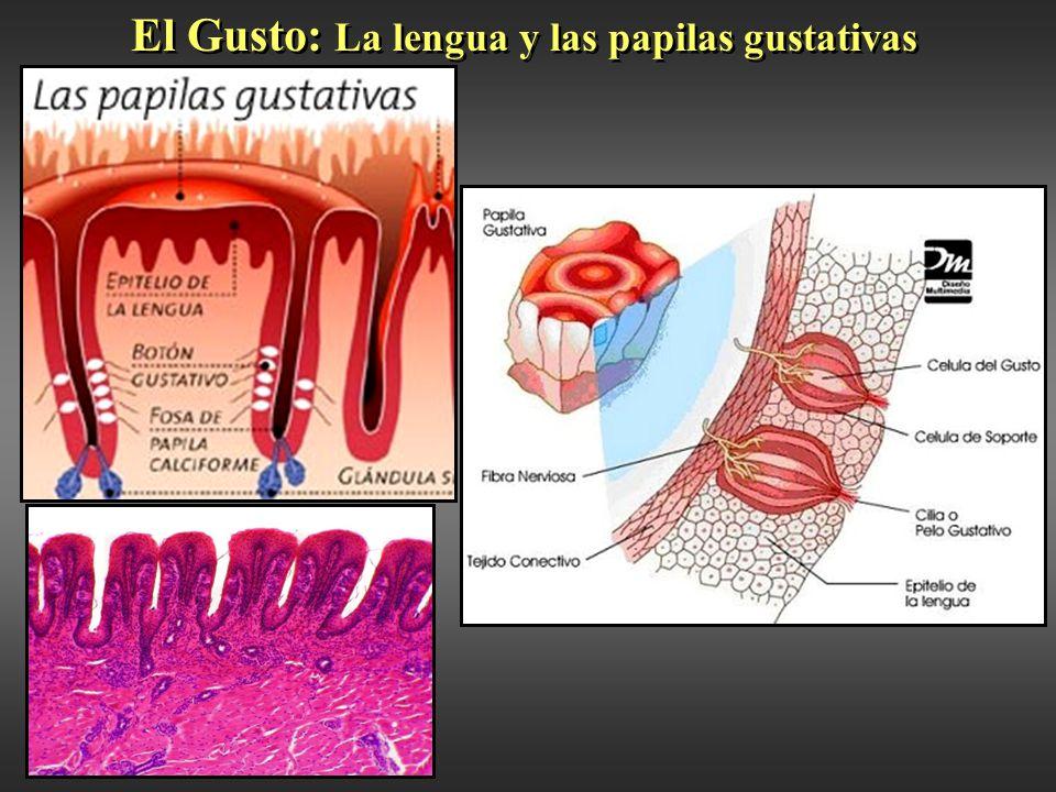 Excelente Papilas Gustativas Lengua Anatomía Elaboración - Anatomía ...