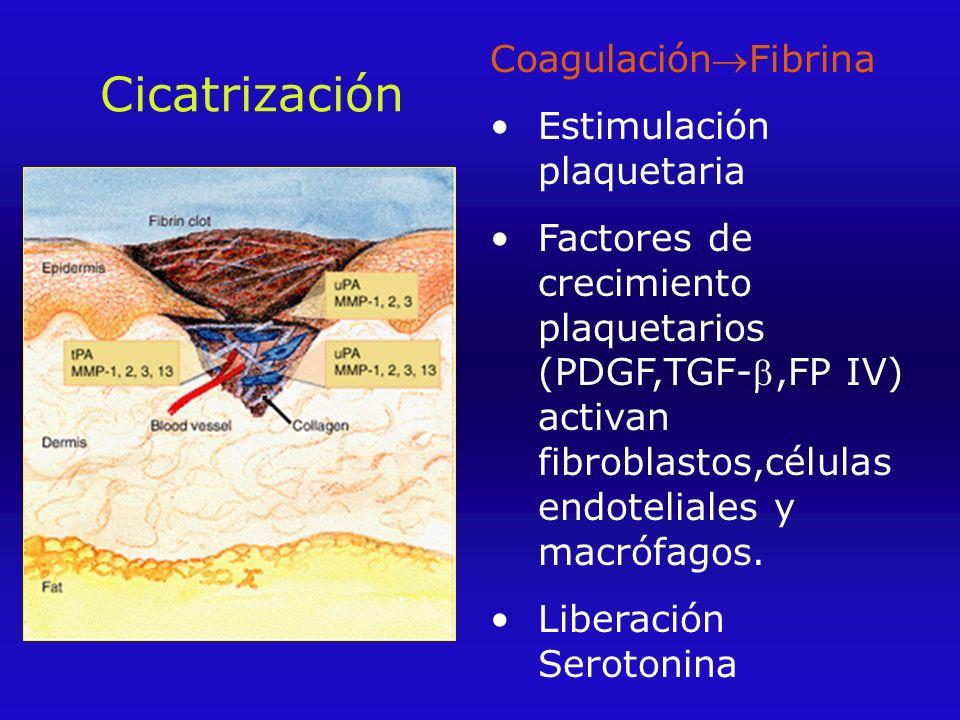 Cicatrización CoagulaciónFibrina Estimulación plaquetaria