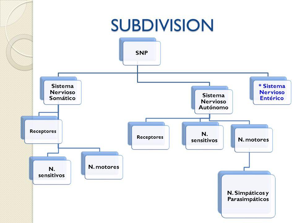 SUBDIVISION SNP Sistema Nervioso Somático N. sensitivos N. motores