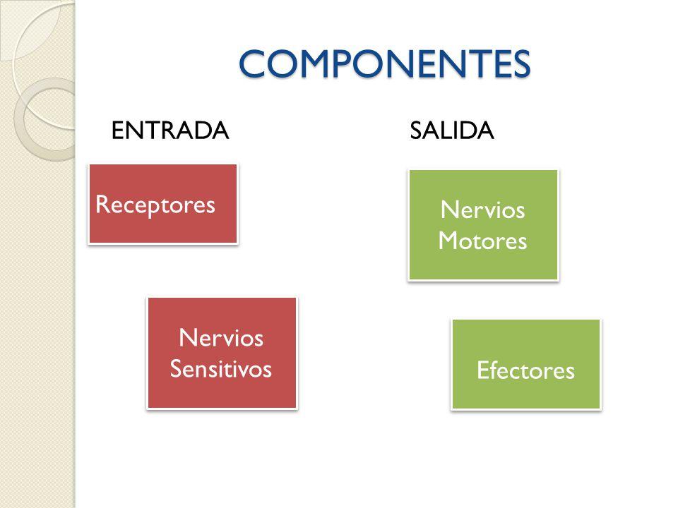COMPONENTES ENTRADA SALIDA Receptores Nervios Motores