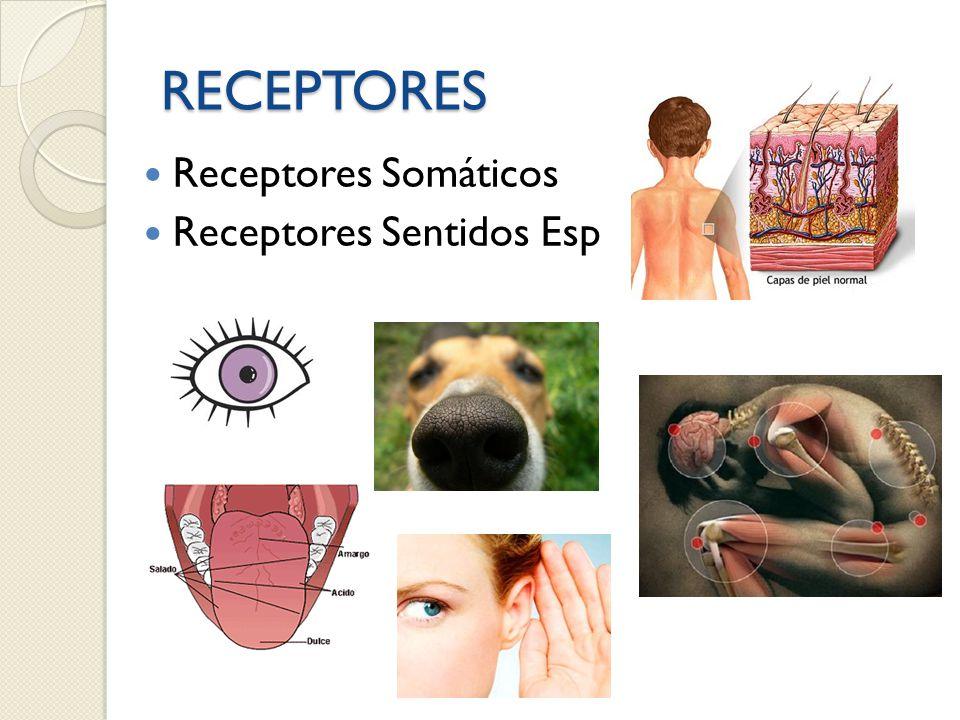 RECEPTORES Receptores Somáticos Receptores Sentidos Esp