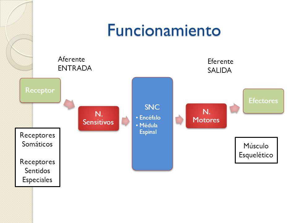 Funcionamiento Aferente Eferente ENTRADA SALIDA Receptores Somáticos