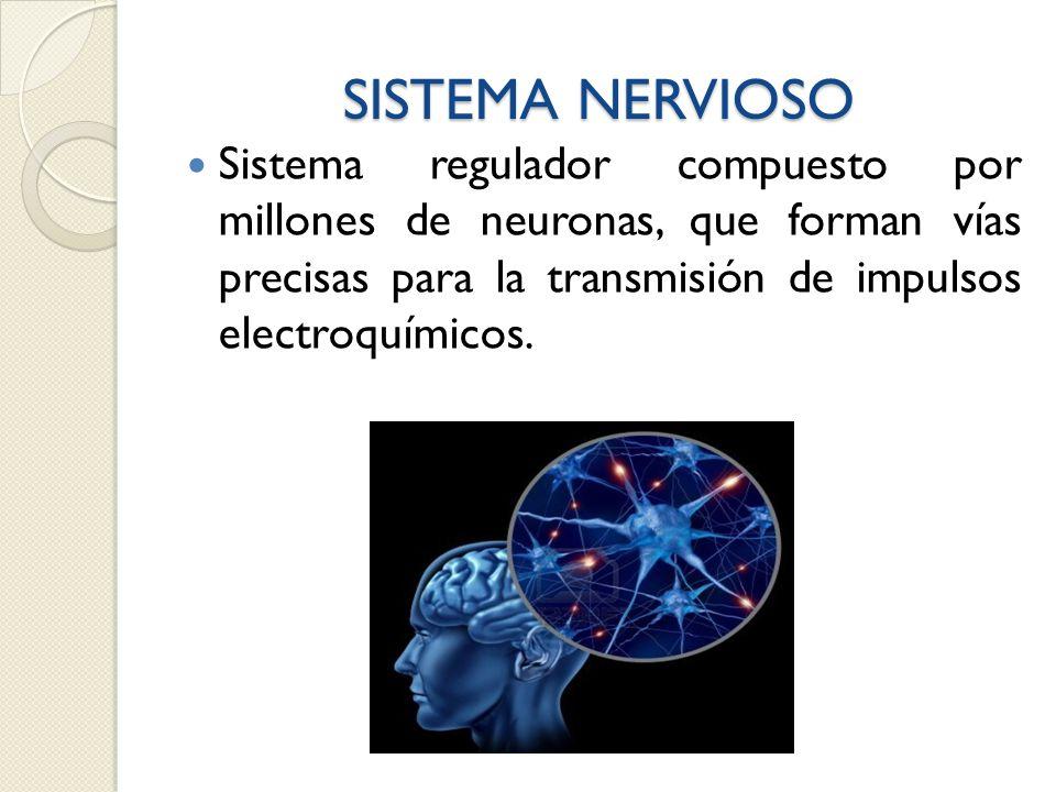 SISTEMA NERVIOSO Sistema regulador compuesto por millones de neuronas, que forman vías precisas para la transmisión de impulsos electroquímicos.