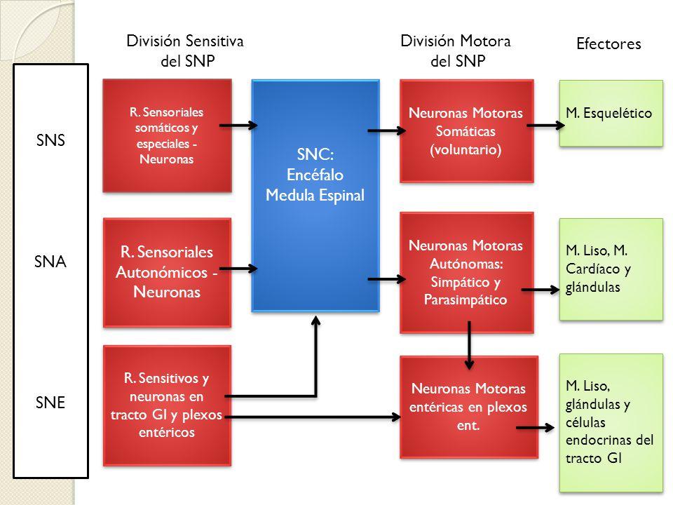 R. Sensoriales Autonómicos - Neuronas