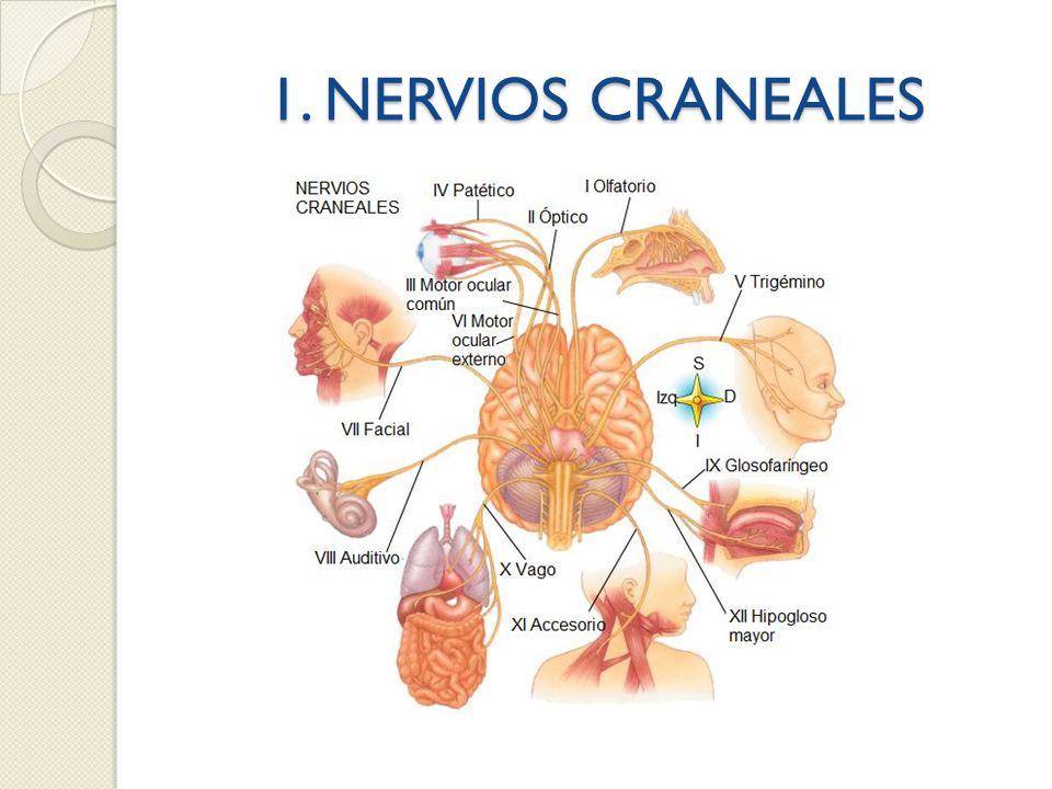 1. NERVIOS CRANEALES