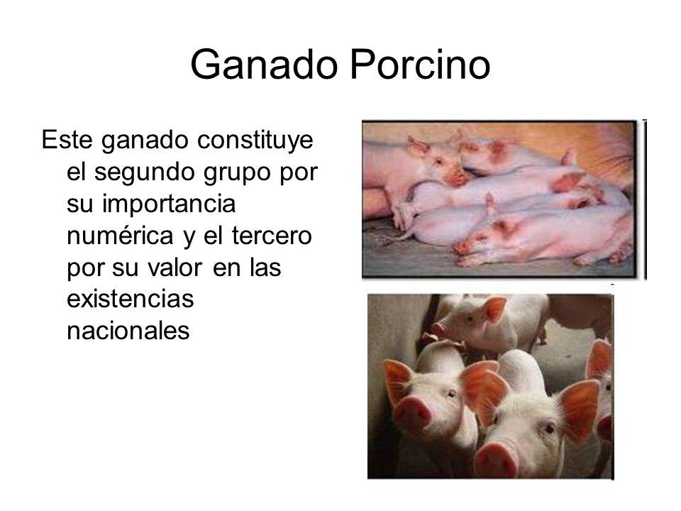 Ganado Porcino Este ganado constituye el segundo grupo por su importancia numérica y el tercero por su valor en las existencias nacionales.