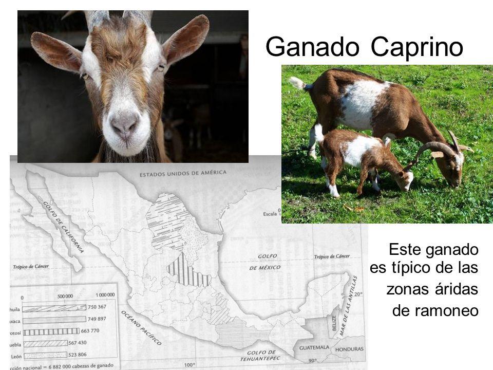 Ganado Caprino Este ganado es típico de las zonas áridas de ramoneo