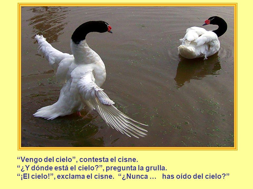 Vengo del cielo , contesta el cisne.