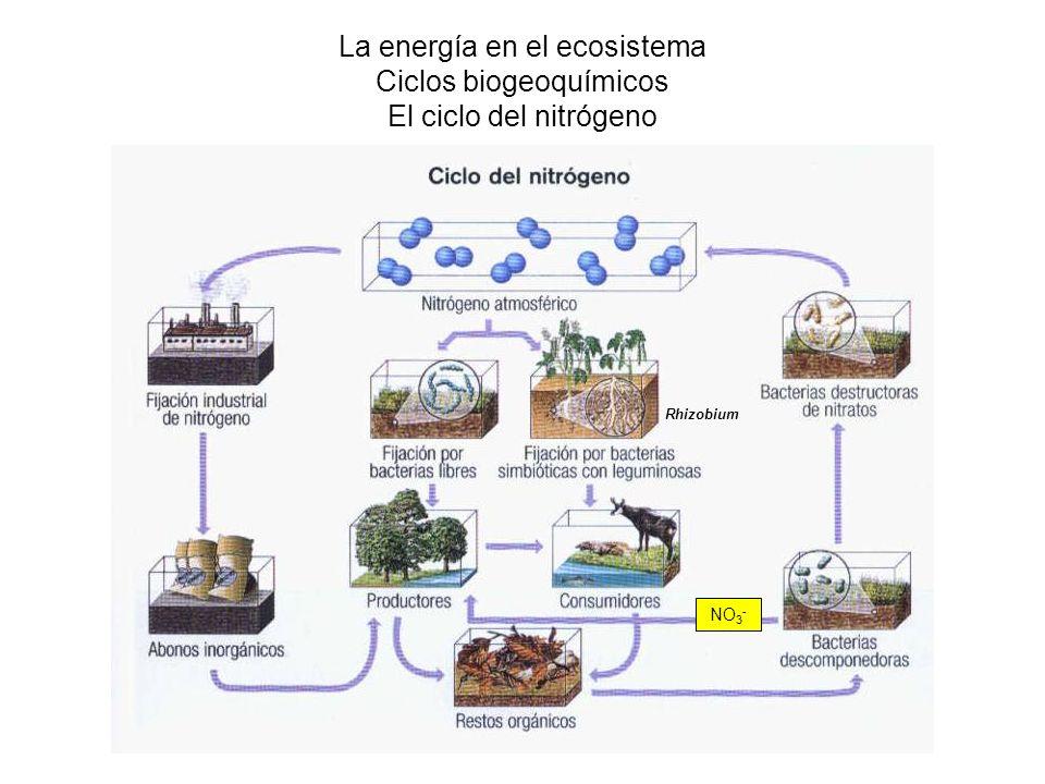 La energía en el ecosistema Ciclos biogeoquímicos El ciclo del nitrógeno