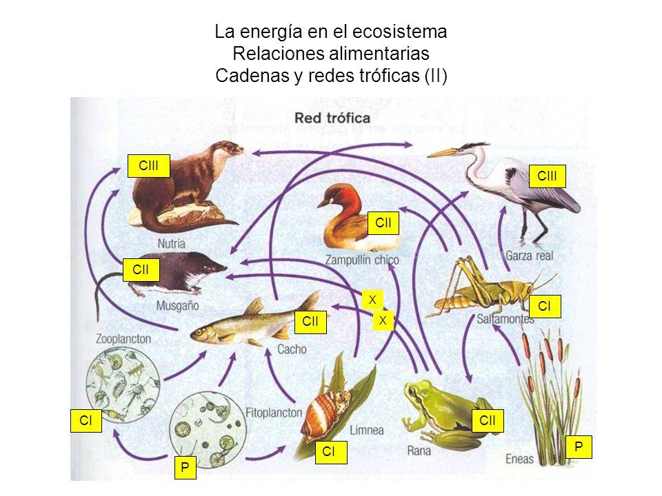 La energía en el ecosistema Relaciones alimentarias Cadenas y redes tróficas (II)
