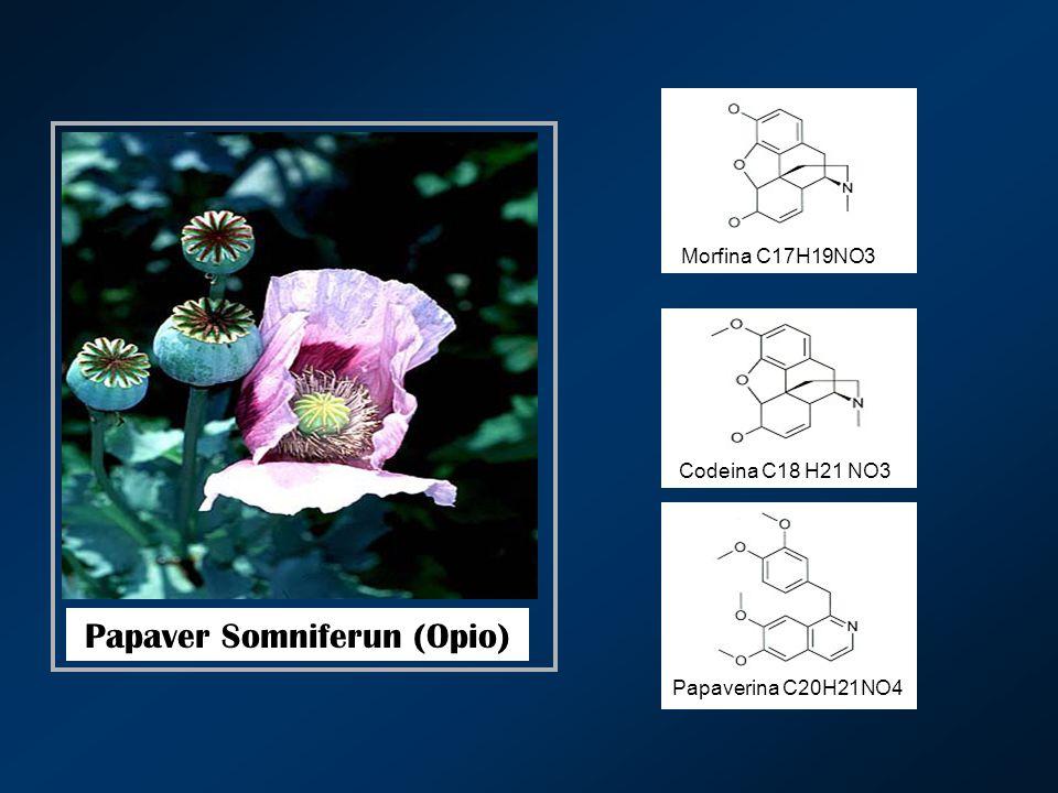 Papaver Somniferun (Opio)
