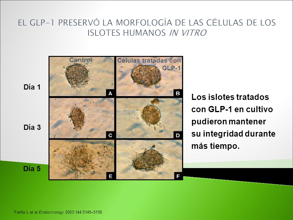 EL GLP-1 PRESERVÓ LA MORFOLOGÍA DE LAS CÉLULAS DE LOS ISLOTES HUMANOS IN VITRO