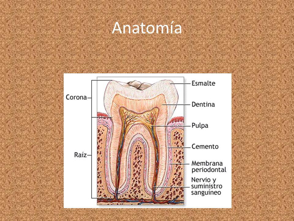 Atractivo Anatomía De La Pulpa Festooning - Anatomía de Las ...