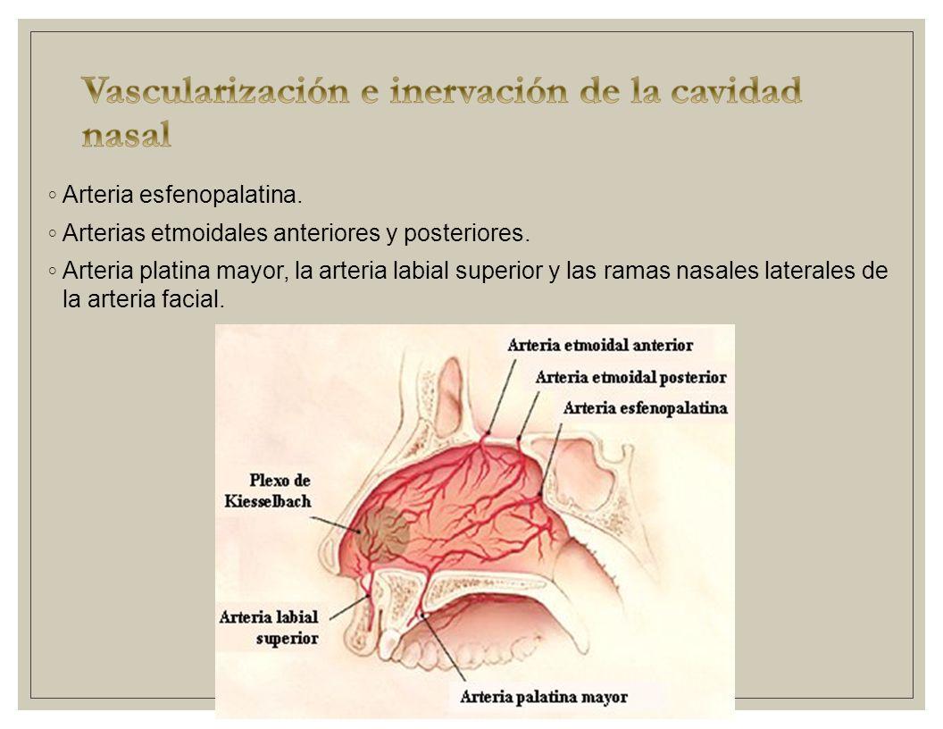 Nariz se divide en izquierda y derecha debido al tabique for Pared lateral de la cavidad nasal