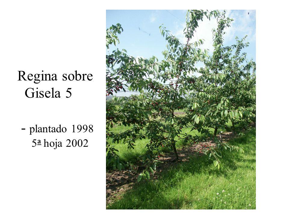 Regina sobre Gisela 5 - plantado 1998 5a hoja 2002