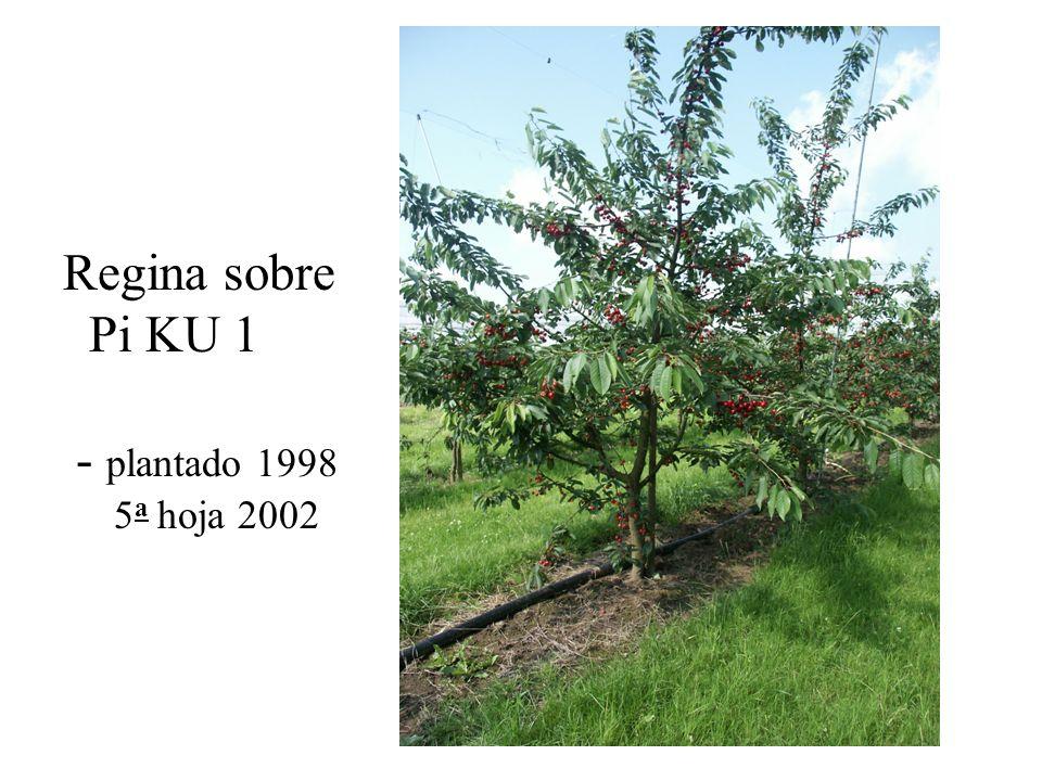 Regina sobre Pi KU 1 - plantado 1998 5a hoja 2002