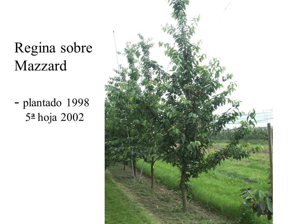Regina sobre Mazzard - plantado 1998 5a hoja 2002