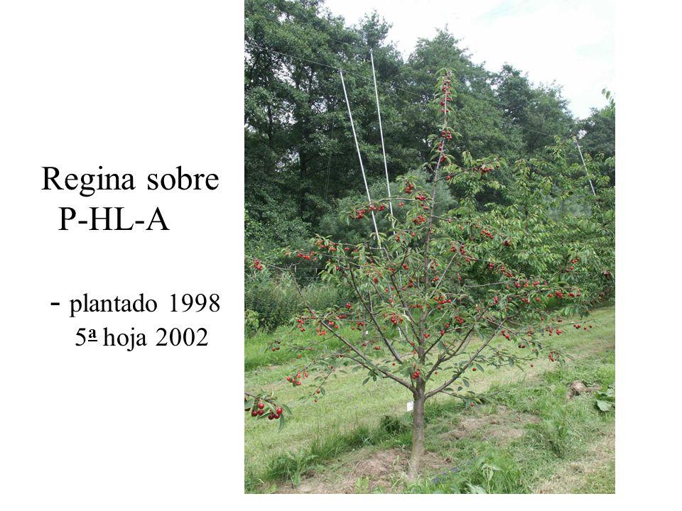 Regina sobre P-HL-A - plantado 1998 5a hoja 2002