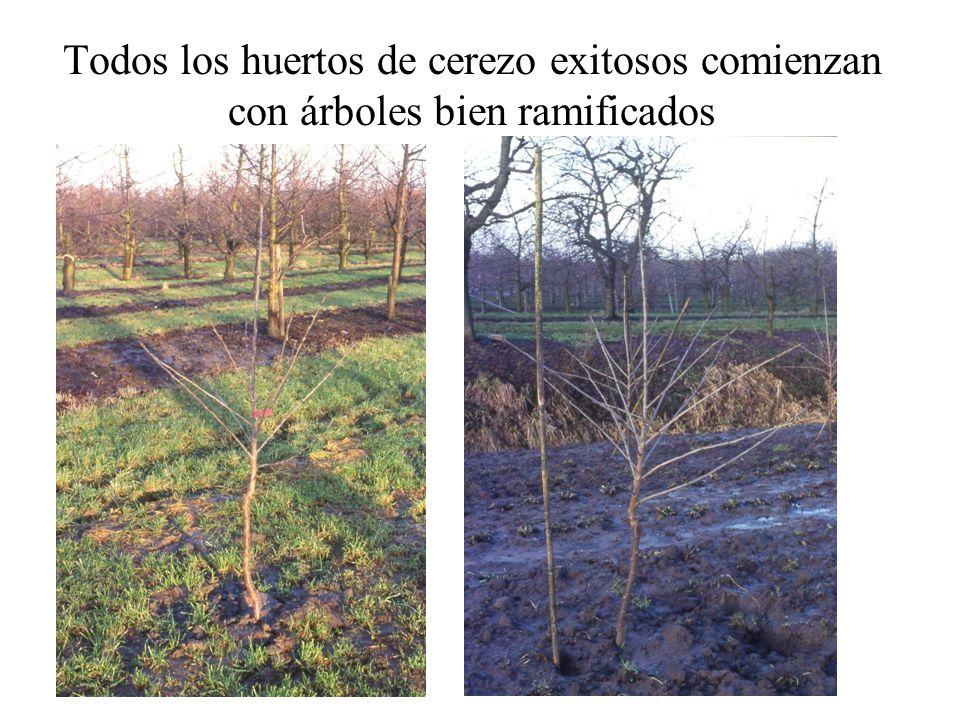 Todos los huertos de cerezo exitosos comienzan con árboles bien ramificados