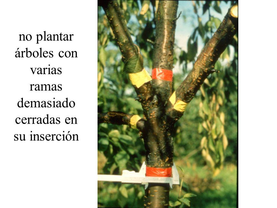 no plantar árboles con varias ramas demasiado cerradas en su inserción