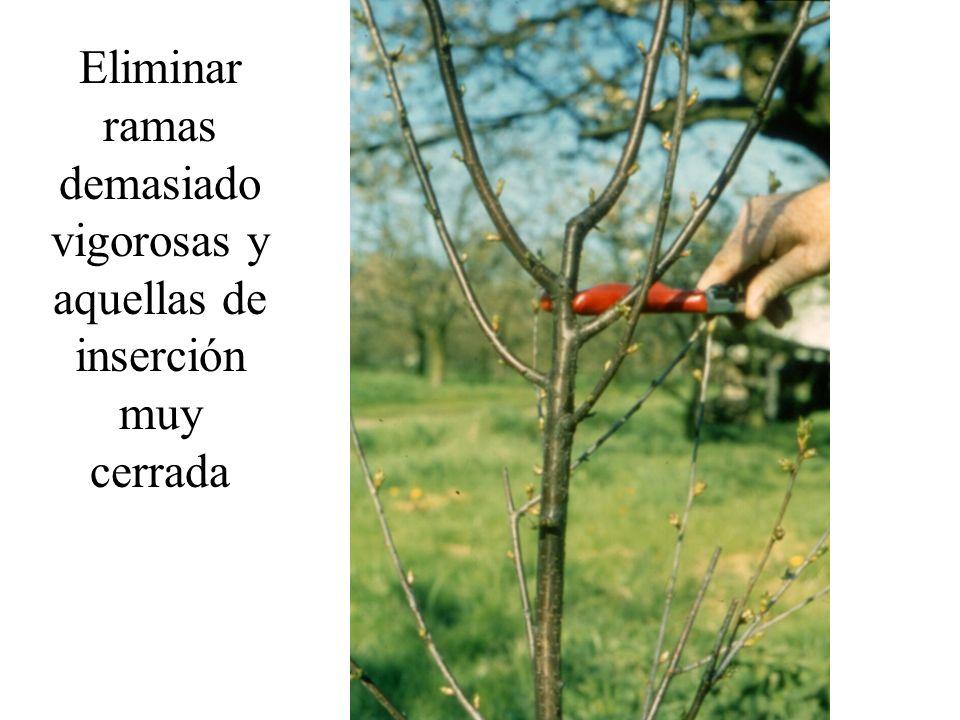 Eliminar ramas demasiado vigorosas y aquellas de inserción muy cerrada