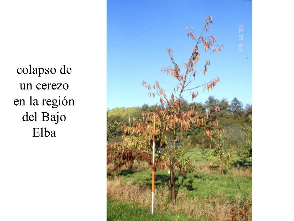 colapso de un cerezo en la región del Bajo Elba