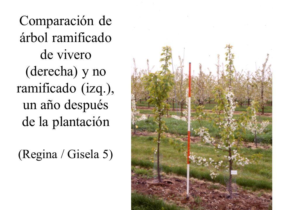 Comparación de árbol ramificado de vivero (derecha) y no ramificado (izq.), un año después de la plantación (Regina / Gisela 5)
