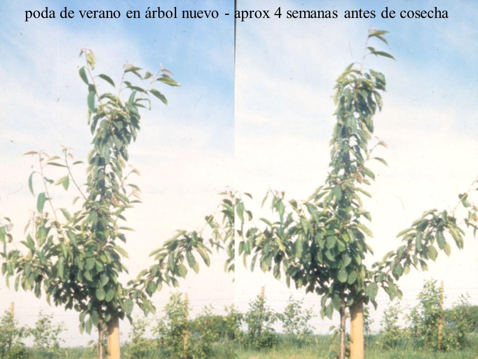 poda de verano en árbol nuevo - aprox 4 semanas antes de cosecha