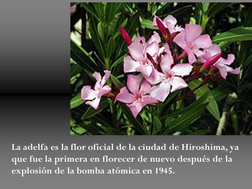La adelfa es la flor oficial de la ciudad de Hiroshima, ya que fue la primera en florecer de nuevo después de la explosión de la bomba atómica en 1945.