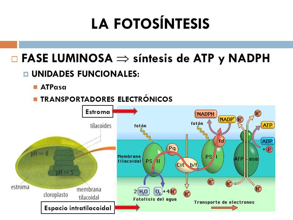 Fases de la fotosintesis wikipedia 47